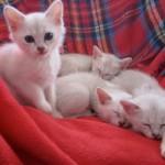 Kattuppfödning