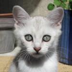 Burmilla ögon