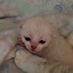 Ljuvliga Burmilla bebis